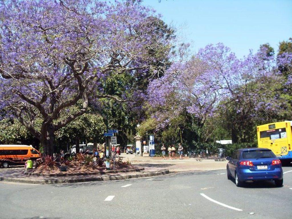Цветущие джакаранды