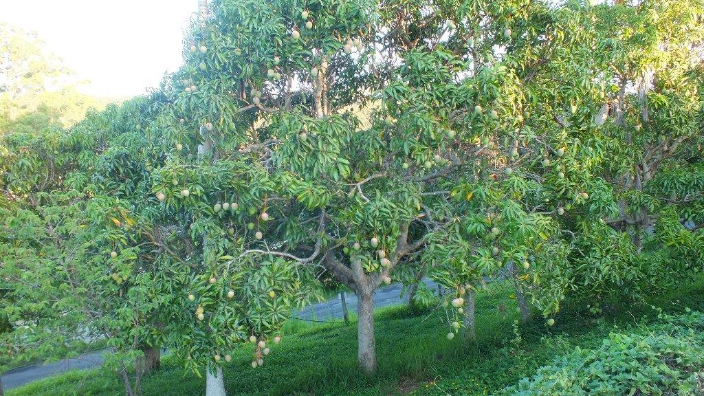 На ферме множество плодовых деревьев. Очень много манго, все деревья усыпаны.