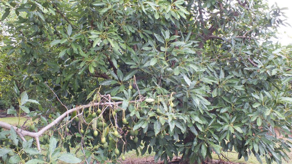 Деревья увешаны плодами авокадо