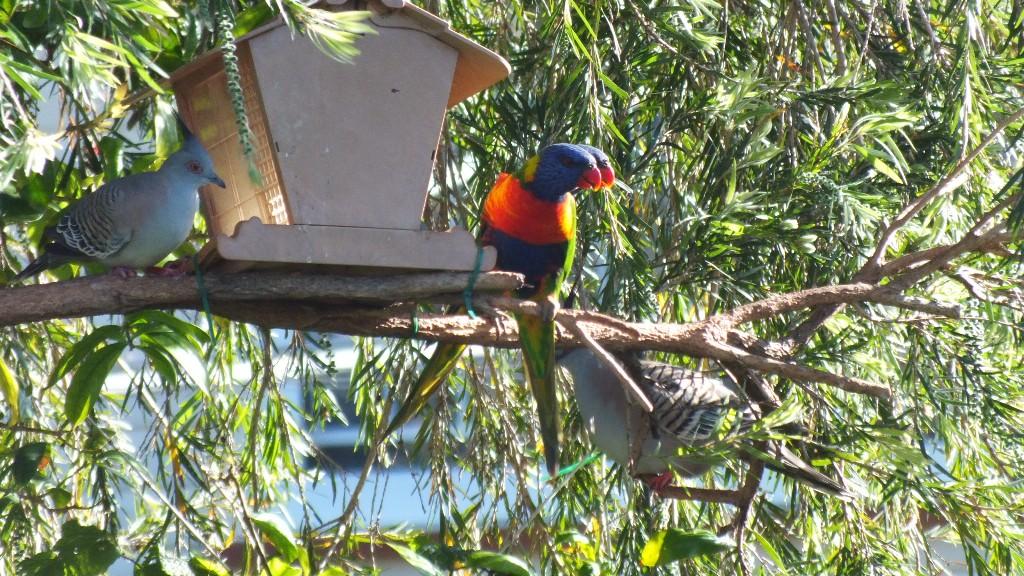 Горлицы и радужные попугаи