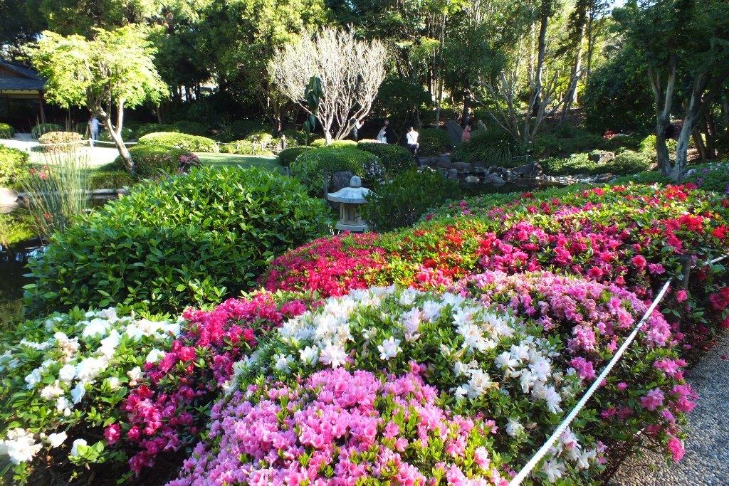 Японский садик. Цветут азалии.
