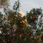 Какаду на мандариновом дереве
