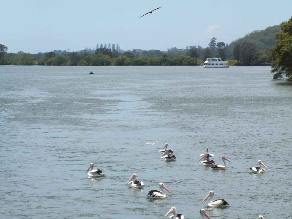 Пеликаны и Морской Коршун