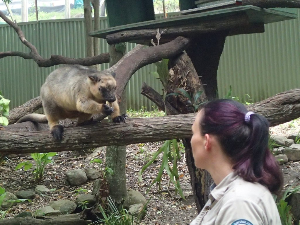 Древесный кенгуру