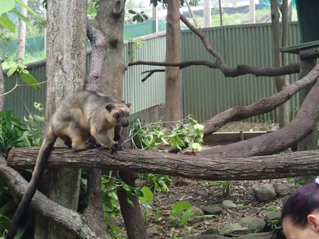 Древесное кенгуру в зоопарке